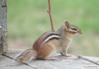 Chipmonk-©-Northwood-Mediaworks 2014